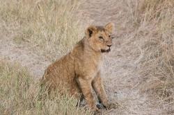 ライオンの涙