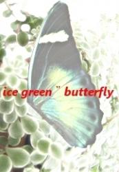 "白緑蝶""Ice green butterfly"