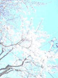 桜が舞い散る