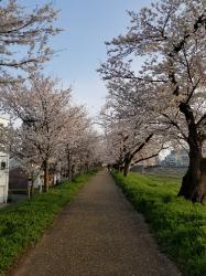 桜の花びらのように