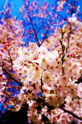 花の咲く頃、散る頃に。